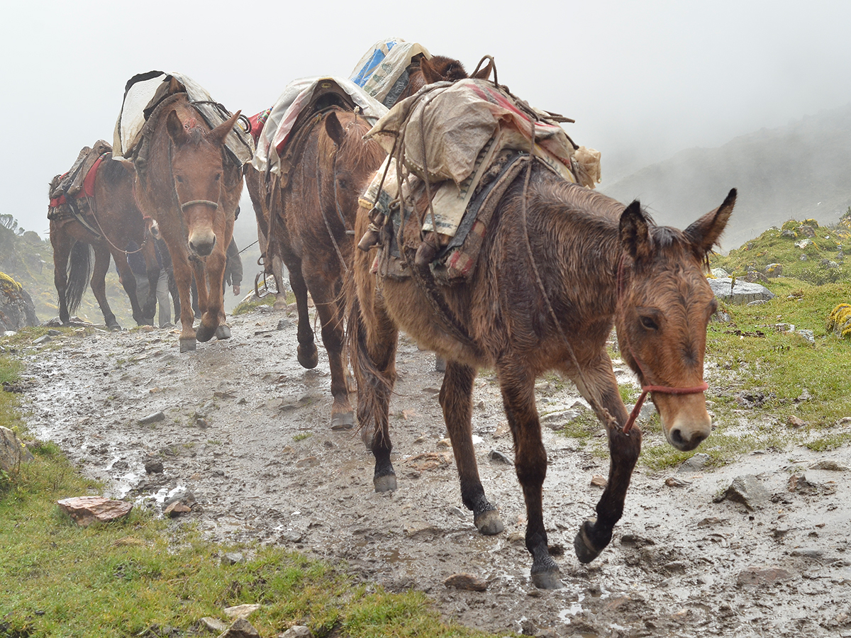 Salkantay Trek Horses